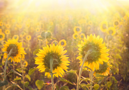Golden sunflower in the field with the rays of the sunset