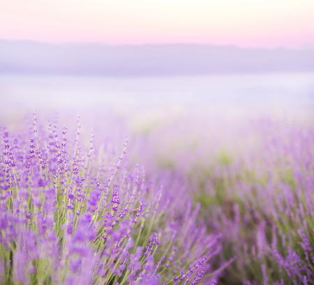 Beautiful image of lavender field over summer sunset landscape.