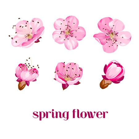 Sakura flowers isolated over white. Spring background. Vector illustration.