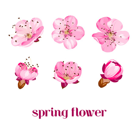 pink cherry: Sakura flowers isolated over white. Spring background. Vector illustration.