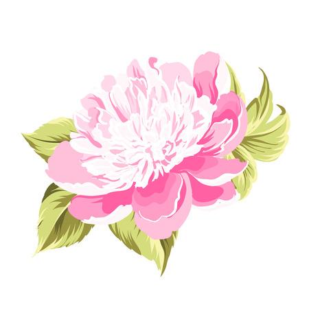 flower rose: Peony bud flower over white background. Vector illustration. Illustration