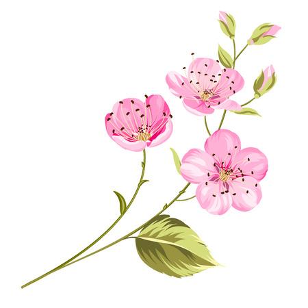 arbol de cerezo: Cereza flor de las flores con hojas. Rama de un árbol. Ilustración del vector. Vectores
