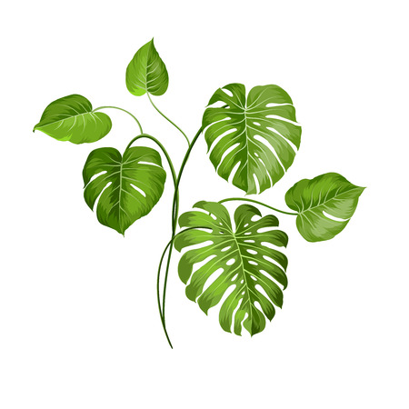 monstera leaf: Tropical palm branch single object over white. Vector illustration.