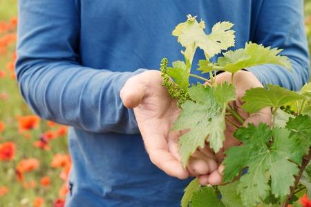 vid: Manos que sostienen la hoja de la uva de la planta. Foto de archivo