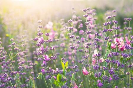 field sunset: Lavender field closeup. Aromatic lavender flowers over sunset sky.