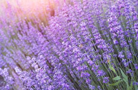 Lavender field closeup. Aromatic lavender flowers over sunset sky.