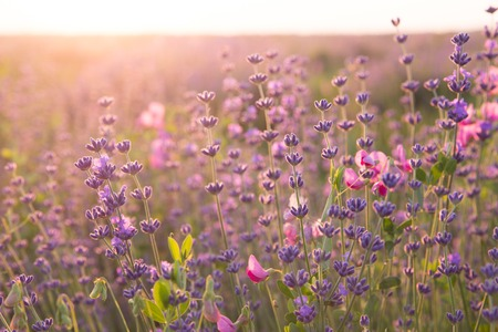 Lavender field closeup. Aromatic lavender flowers over sunset sky.