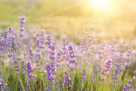 Sunset over a violet lavender field in Provence, France Stock Photo
