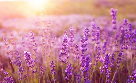 paisaje rural: Puesta de sol sobre un campo de lavanda violeta en la Provenza, Francia