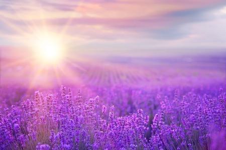 Por do sol sobre um campo de lavanda violeta em Provence, França Banco de Imagens