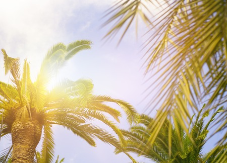 palmier: Palm feuilles vertes sur fond de ciel bleu, frais feuillage des arbres exotiques avec des rayons de soleil, conception de vacances d'�t�.