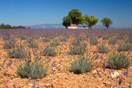 flowering field: Young lavender field. The first year of lavandula flowering. Small lavender bushes. The blossoming French lavender field in Provence, France. Stock Photo