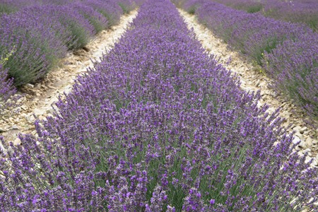 lavender: Straight rows of lavender plants in a field after harvest. Photographed in Provence region.