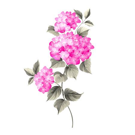 fleur cerisier: Fleur hortensia sur fond blanc. Tête de balai fleur d'hortensia isolée contre le blanc. Vector illustration.