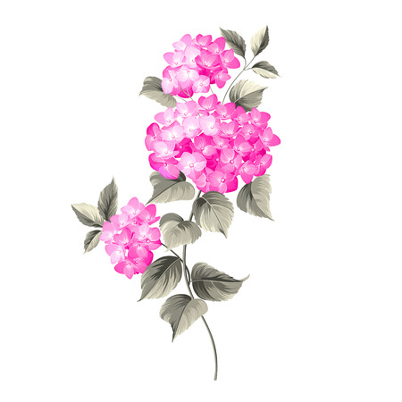 Purple flower hydrangea on white background. Mop head hydrangea flower isolated against white. Vector illustration.