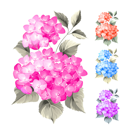 flower: Purple flower hydrangea on white background. Mop head hydrangea flower isolated against white. Beautiful set of colored flowers.Vector illustration. Illustration