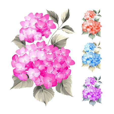 flowers: Purple hortensias flores sobre fondo blanco. Flor hortensia cabeza de la fregona aislado contra blanco. Hermoso conjunto de ilustración flowers.Vector color.