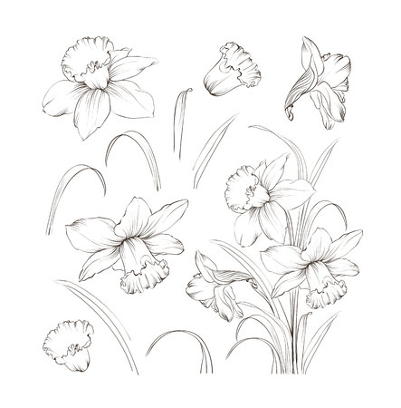 Set of line drawing narcissus. Daffodils blossom bundle. Black flowers isolated over white. Flowers contour collection. Vector illustration.