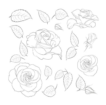 engravings: Black and white rose flowers in the style of engravings. Flowers of rose isolated over white. Flowers contours collection. Vector illustration. Illustration
