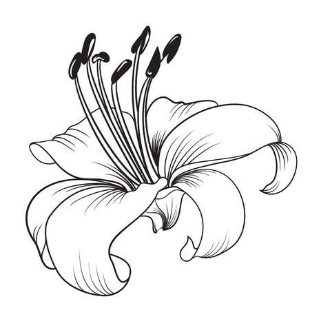 lily buds: White lily isolated on a white background. Card with blooming lily. Vector illustration.
