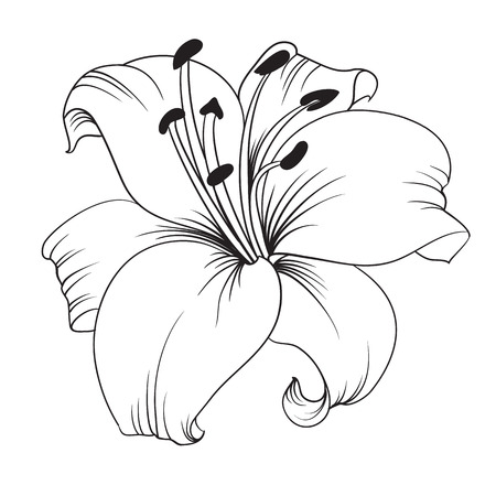 Lys blanc isolé sur un fond blanc. Carte avec fleurs de lys. Vector illustration. Banque d'images - 46534563