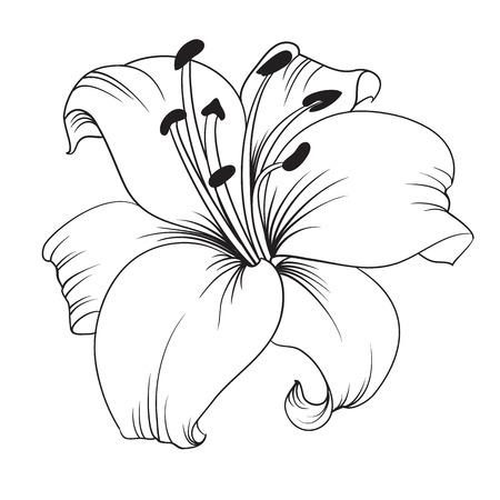 Witte lelie geïsoleerd op een witte achtergrond. Kaart met bloeiende lelie. Vector illustratie. Stock Illustratie