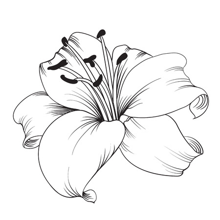 line drawing: White lily isolated on a white background. Card with blooming lily. Vector illustration.