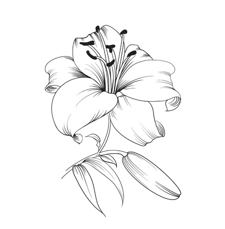 White lily isolated on a white background. Card with blooming lily. Vector illustration.