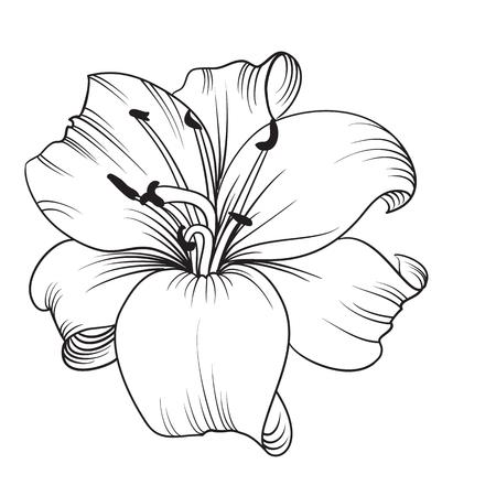白いユリは、白い背景で隔離。咲くユリのカード。ベクトルの図。