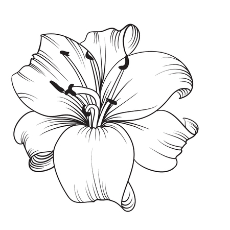 lillies: White lily isolated on a white background. Card with blooming lily. Vector illustration.
