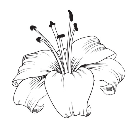 white lily: White lily isolated on a white background. Card with blooming lily. Vector illustration.