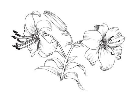 lijntekening: Twee lelie bloemen. Bloemen achtergrond met bloeiende lelies op een witte achtergrond. Vector illustratie.