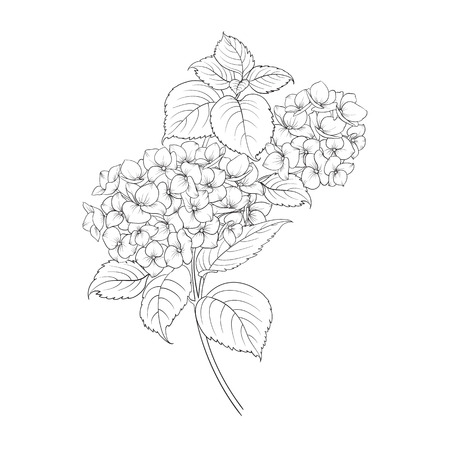 flower head: Blooming flower hydrangea on white background. Mop head hydrangea flower isolated against white. Beautiful flowers in style of engraving. Vector illustration. Illustration