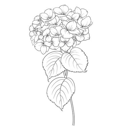 flower blooming: Blooming flower hydrangea on white background. Mop head hydrangea flower isolated against white. Beautiful flowers in style of engraving. Vector illustration. Illustration
