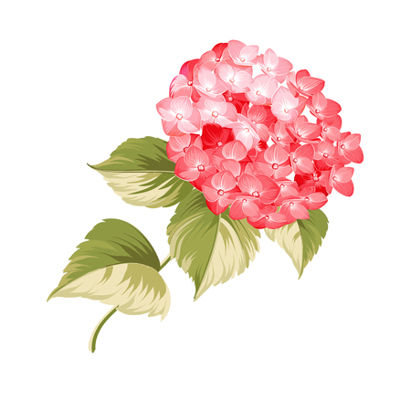 contours: Hortensia flower. Red realistic hydrangea. Illustration of flowers. Vintage art. Can be used for invitation card. Vector illustration. Illustration