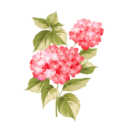 pastel like: Hortensia flower. Red realistic hydrangea. Illustration of flowers. Vintage art. Can be used for invitation card. Vector illustration. Illustration