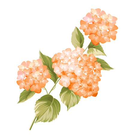 Hortensia flower. Red realistic hydrangea. Illustration of flowers. Vintage art. Can be used for invitation card. Vector illustration. 向量圖像