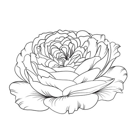 isolation: Silhouette of rose isolated over white. Rose flower. Open flower. Botany set. Vintage flowers. Isolation vektor.  Isolated object. Vector illustration. Illustration