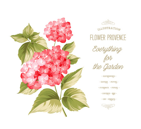cherry blossom: Hortensia flower. Red realistic hydrangea. Illustration of flowers. Vintage art. Can be used for invitation card. Vector illustration. Illustration