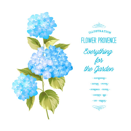 pink rose: Hortensia flower. Blue realistic hydrangea. Illustration of flowers. Vintage art. Can be used for invitation card. Vector illustration.