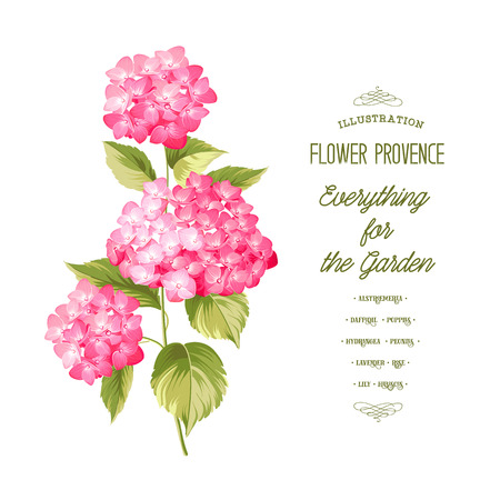 fleur cerisier: Fleur Hortensia. Hortensia rouge réaliste. Illustration de fleurs. Art vintage. Peut être utilisé pour la carte d'invitation. Vector illustration.