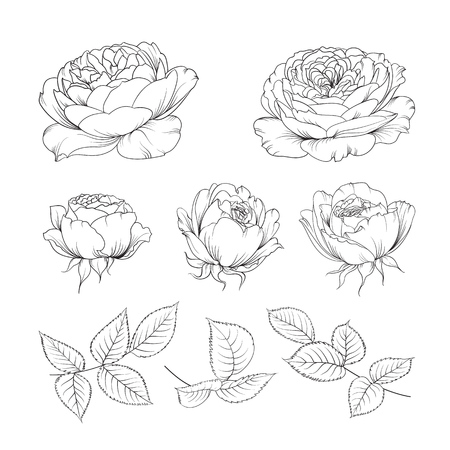 hand drawn rose: Rose bud collection. Elements of roses isolated on white background. Bouquet of roses. Flower isolated against white. Beautiful set of flowers.
