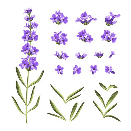 ilustração: Jogo de elementos flores de lavanda. Coleção de flores de lavanda em um fundo branco. Vetor pacote.
