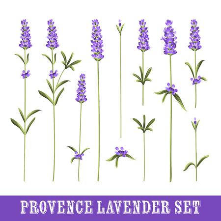 fiori di lavanda: Set di fiori di lavanda elementi. Raccolta di fiori di lavanda su uno sfondo bianco. Illustrazione vettoriale fascio.