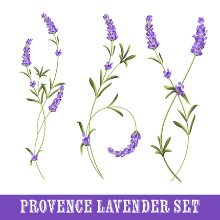 purple: Set of lavender flowers elements. Collection of lavender flowers on a white background.  Botanical illustration. Vintage style. Making gifts of paper and textiles. Vector illustration bundle.