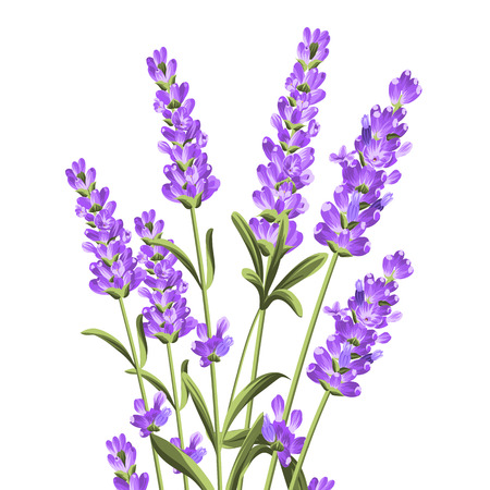Bunch of lavender flowers on a white background. Botanical illustration. Vintage style. Making gifts of paper and textiles. Vector illustration. Иллюстрация