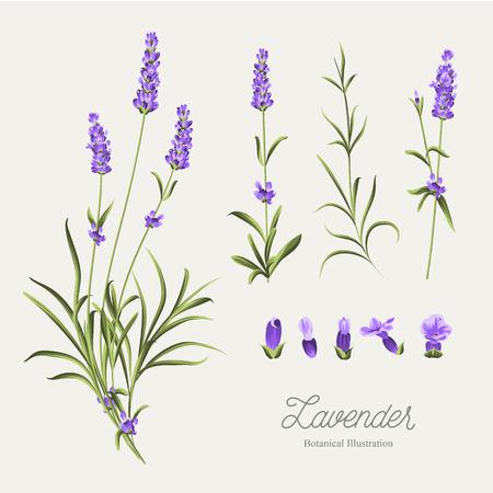 Set of lavender flowers elements. Botanical illustration. Collection of lavender flowers on a white background. Lavender hand drawn. Watercolor lavender set. Lavender flowers isolated on white background.