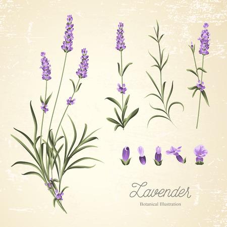 Vintage set of lavender flowers elements. Botanical illustration. Collection of lavender flowers on a white background. Lavender hand drawn. Watercolor lavender set.  Lavender flowers isolated on white background. 矢量图像