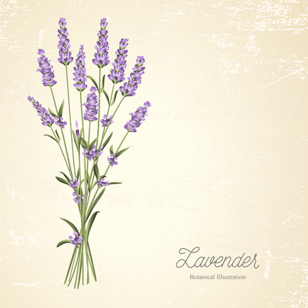 lavender oil: The lavender elegant vintage card. Blossom flowers. Bouquet of flowers and text. Lavender garland for your text presentation. Label of soap package. Label with lavender flowers. Vector illustration.