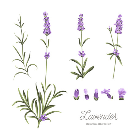 Set of lavender flowers elements. Botanical illustration. Collection of lavender flowers on a white background. Lavender hand drawn. Watercolor lavender set.  Lavender flowers isolated on white background. Vectores